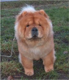 Gina Of Chow Dream (Tinni) - died 6½  year old